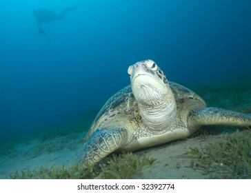 Green turtle (Chelonia mydas) resting on a seagrass bed. Endangered,Red Sea, Egypt.