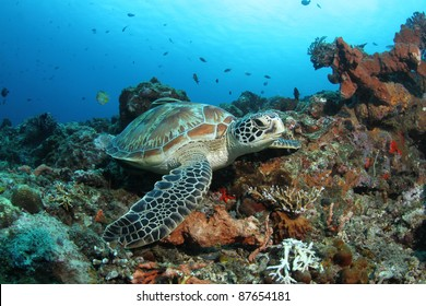 green turtle (Chelonia mydas) resting in coral reef