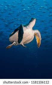 Green turtle (Chelonia mydas) in the Sea of Cortez.