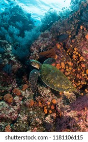 Green turtle (Chelonia mydas) in the Sea of Cortez.