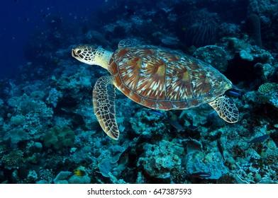 Green turtle, Chelonia mydas, Sulawesi Indonesia.