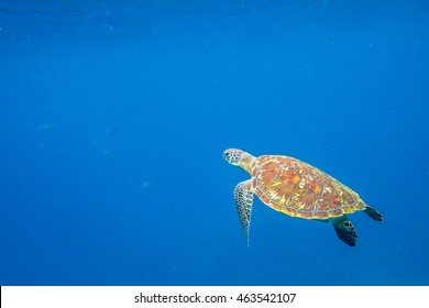 Green turtle, Chelonia mydas, swimming in blue water with copy space.
