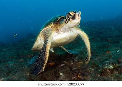 Green turtle coming to you underwater while diving in cabo pulmo baja california national park