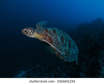 Green Turtle and coral