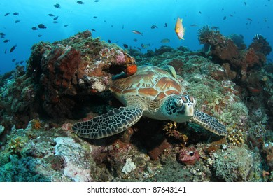 Green Turtle in coral reef