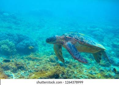 Green turtle in coral reef. Exotic marine turtle underwater photo. Oceanic reptile in wild nature. Summer vacation activity. Snorkeling or diving banner template. Tropical seashore with sea tortoise