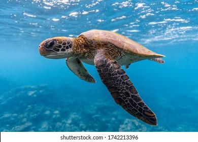 Green Turtle cruising in clear tropical water, Ningaloo Reef, Western Australia