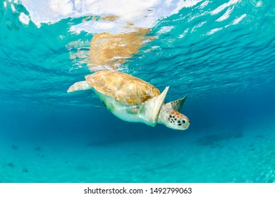 Green turtle diving near the surface