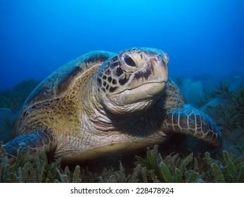 Green turtle feeding on seagrass