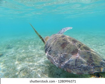 Green turtle with going away (chelonia mydas, Mayotte)