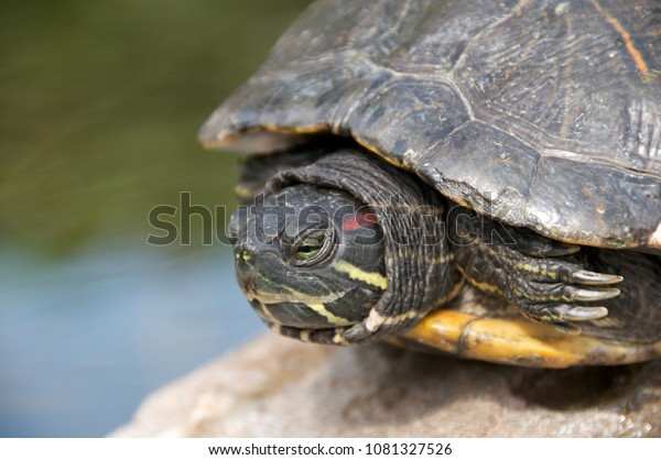 Green turtle head out of the shell