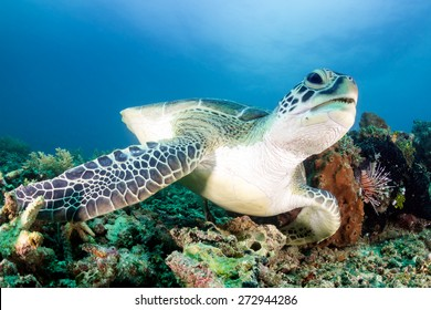 Green Turtle and Lionfish on a tropical coral reef