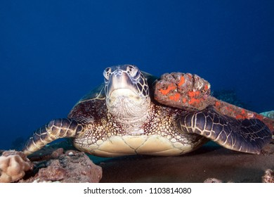 Green Turtle from Maui Island