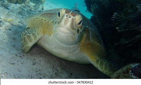 Green Turtle near coral reef