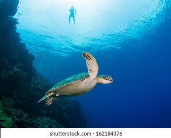 Green turtle on a coral reef in Indonesia, Bunaken Island