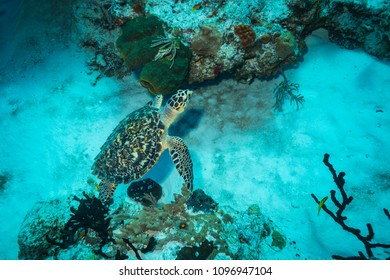 Green turtle on the Cozumel reef
