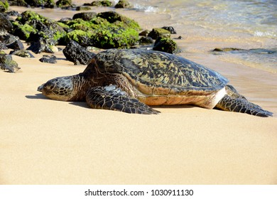 Green turtle on the shhores of Kauai