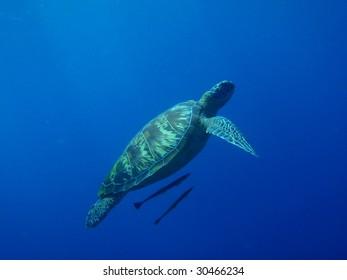 Green turtle - Pacific Ocean, Philippines