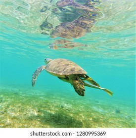Green turtle with its remoras (chelonia mydas, Mayotte)