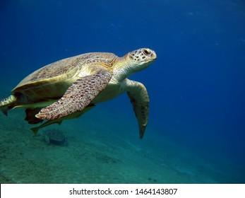 Green Turtle Reptiles - class Reptile. Sea turtle family.