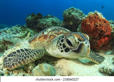 Green Turtle rubs shell against coral to polish and clean itself
