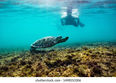 Green turtle in shallow water