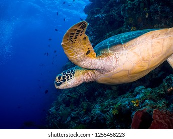 Green Turtle in Sulawesi