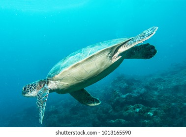 green turtle swimming in blue ocean