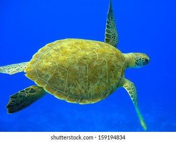 Green turtle swimming in a blue ocean (Chelonia mydas), Curacao