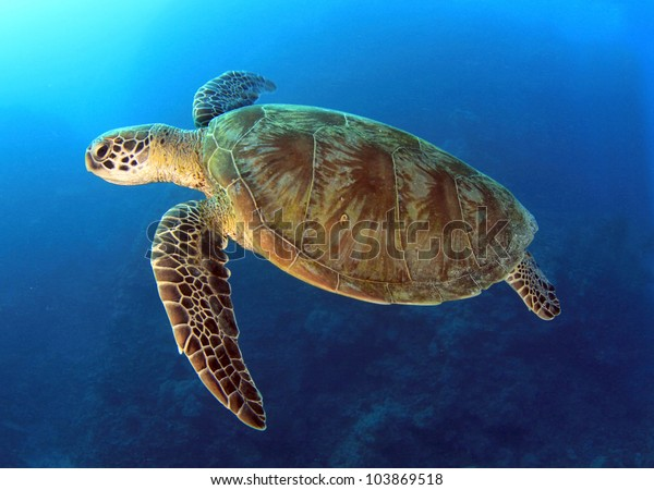 green turtle swimming in blue ocean,great barrier reef, cairns, queensland, coral sea, australia pacific loggerhead