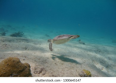 Green turtle swimming (Chelonia mydas).  Pink beach dive site.  Bonaire.  Caribbean