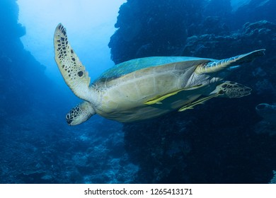 green turtle swimming in ocean