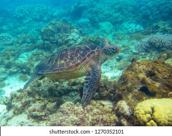 Green turtle swimming underwater photo. Sea turtle closeup. Oceanic animal in wild nature. Summer vacation activity. Snorkeling or diving  in tropical sea. Tropical seashore with sea tortoise