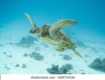 Green turtle swimming upwards on the great barrier reef in Australia. The green turtle is moving with its fins up,