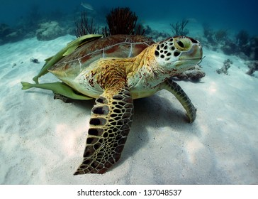Green turtle with two (2) remoras in Akumal Bay - Riviera Maya, Mexico