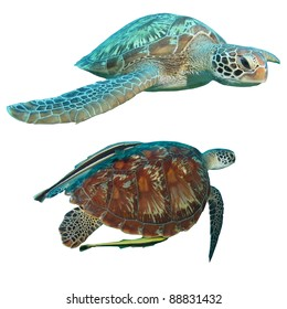 Green Turtles (Chelonia mydas) isolated on white background; one having remora or suckerfish attached.