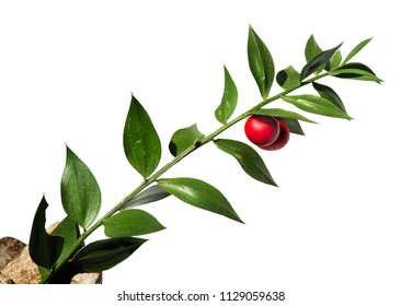 Green twig of Buthers-broom (Ruscus aculeatus) false leaves with two red berries/fruit isolated against a white background. Parque Natural da Arrabida, Portugal.