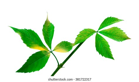 Green twig of grapes leaves (Parthenocissus quinquefolia foliage). Isolated on white background.