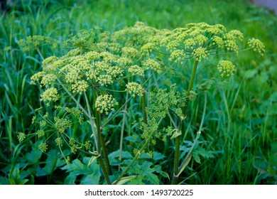 Green umbrellas of hogweed. Poisonous grass. The end of summer, ripened plants, weed, seeds, grass near the house, mowed lawn