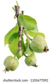 Green unripe apple fruits  at the beginning of vegetative maturation. Isolated on white macro studio shot