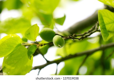 green unripe apricots on a tree