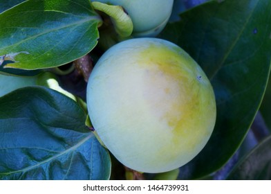 Green unripe caqui fruits on The Branches of the Tree Background, Persimmon or Oriental Persimmon Fruits, the oldest plants in cultivation, known for its use in China for more than 2000 years
