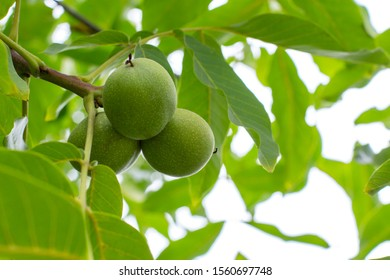 Green unripe fruits of a walnut hanging on a branch. Natural walnut tree with three green peanuts in the peel, fresh nature background backdrop. Walnut fruit food