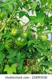 Green unripe tomatoes in a greenhouse