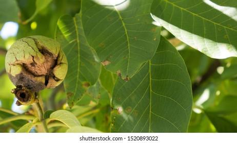 Green unripe walnuts hang on a branch. Ripe nuts of a Walnut tree. Green leaves and unripe walnut. Fruits of a walnut.