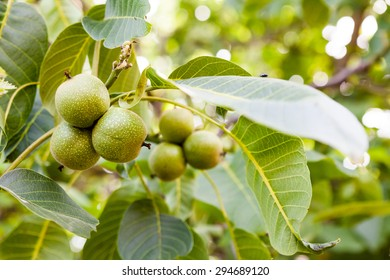 Green, unripe walnuts with natural background