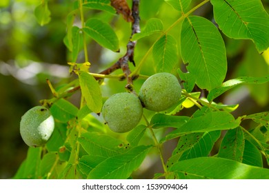 Green unripe walnuts on tree in garden or orchard