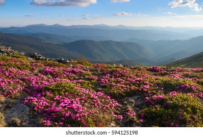 Green valley high on the mountains with the view to clear sky in summer day is spangled with many nice pink rhododendrons