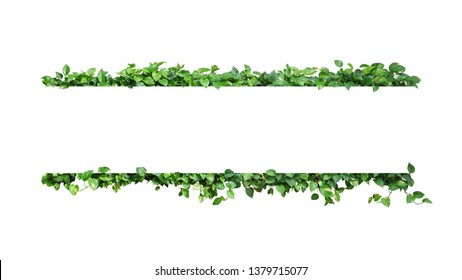 Green variegated leaves nature frame border of devil's ivy or golden pothos the tropical foliage plant on white background.