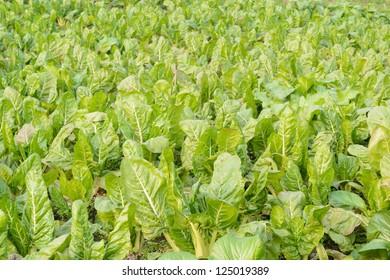 green vegetable field in farm land